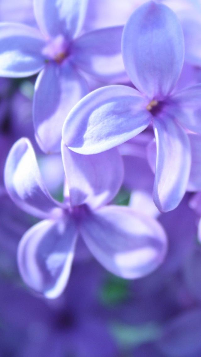 紫色の可愛い花のスマホ壁紙